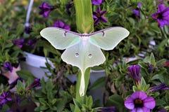 Actias luna, the Luna Moth. Large lime-green Atias Luna, the Luna Moth, Nearctic Saturniid moth on green vegetation stock photography