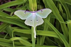 Actias luna, the Luna Moth. Large lime-green Atias Luna, the Luna Moth, Nearctic Saturniid moth on green vegetation royalty free stock photography