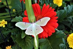 Actias luna, the Luna Moth. Large lime-green Atias Luna, the Luna Moth, Nearctic Saturniid moth on green vegetation stock photos