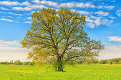 A large lime tree on green meadow on sunny bright summer day. Landscape of bright summer day with tree on green meadow royalty free stock photo