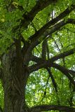 A large Linden Tília  tree on a summer day. Royalty Free Stock Photos