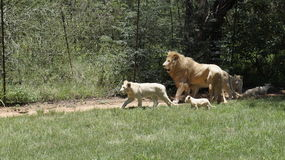 A large lion family on a walk. A lion with a family and cubs on a walk , South Africa stock photography