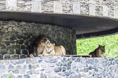 Large lion, lioness and the , beautiful, couple,  resting in the shade of the walls. Stock Photos