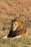 A large lion resting in the grass. Savannah Masai Mara, Africa royalty free stock photos