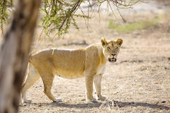 Large lion walks in Serengeti Africaa Royalty Free Stock Photo