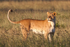 Large lioness Royalty Free Stock Photo