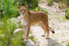 Large lioness in green environment Stock Photography