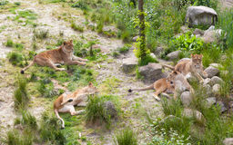 Large lions in green environment Royalty Free Stock Photos