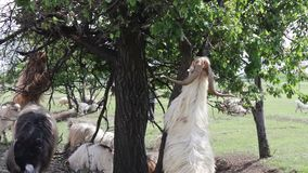 Large and little goats graze near the tree eating leaves stand funny on their two hind legs stock video footage