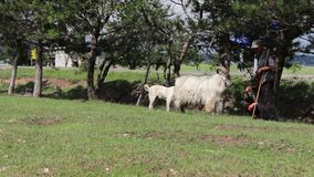 Large and little goats graze near the tree eating leaves stand funny on their two hind legs stock footage