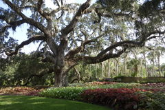 Large live oak in South Carolina public garden. This large live oak looks at its best surrounded by green and red groundcover plants Royalty Free Stock Image