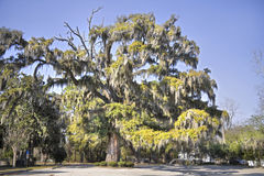 Large live oak tree. With spanish moss hanging from the limbs Royalty Free Stock Images
