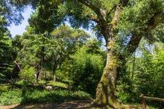 Large live oak tree, California. Large live oak tree in a county park, California Stock Photo