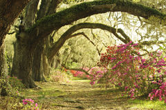 Large Live Oak Trees provide spade to colorful azalea plants at southern plantation in spring. stock image