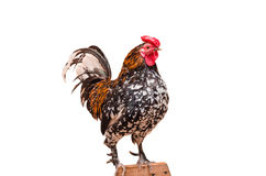 Large living rooster Royalty Free Stock Images