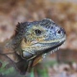 Large lizard close-up. Lacertilia royalty free stock image