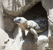 Large lizard comes out of his hole. Stock Photo