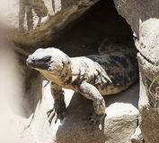 Large lizard comes out of his hole. Royalty Free Stock Photos
