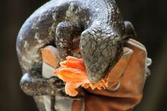Large lizard eating flower. Large lizard being held while feeding on an orange color hibiscus flower. Animal theater, Lion Country Safari, south Florida. sdof stock image