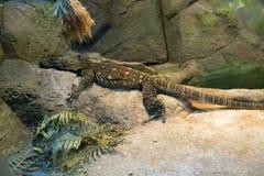Large lizard Stock Photography