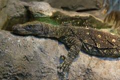 Large lizard Stock Image