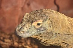 Large lizard head Stock Images