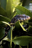Large lizard hunts in mangroves Royalty Free Stock Photography