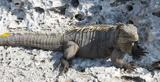 A large lizard, iguana island, Cuba Stock Photos