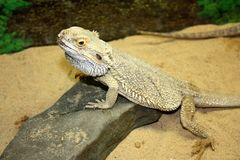 Large lizard with large thorns Royalty Free Stock Photo