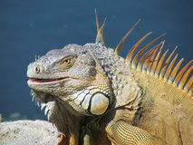A large lizard royalty free stock photo
