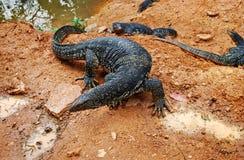 Large lizards (Varanus salvator) near reservoir, top view Royalty Free Stock Images
