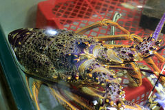 Large lobster Stock Photo