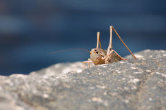 Large locust Royalty Free Stock Images