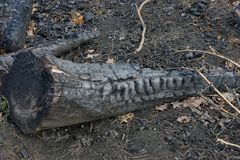 A large log of charred in a black ashes lies in an extinct pyre. On the ground stock images