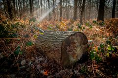 Large log in a forest royalty free stock photos