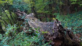 Large log in rural woodland countryside, russia stock image