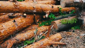 Large logs felled in the forest on the ground. The problem of deforestation.Felled tree trunks in the forest. Many large logs felled in the forest on the ground stock footage