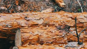 Large logs felled in the forest on the ground. The problem of deforestation.Felled tree trunks in the forest. Many large logs felled in the forest on the ground stock video