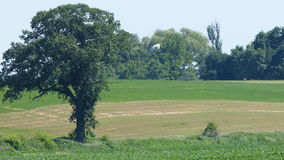 Large, Lone Tree. A large tree stands alone surrounded by green meadows royalty free stock photo