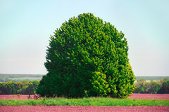 Large lonely green tree in the field Stock Images