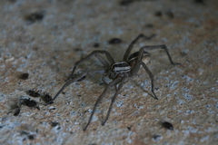 Large, long legged spider surrounded by small beetles. Royalty Free Stock Image