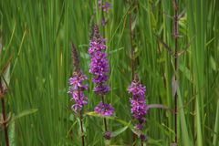 Large and long violet flowers in the middle of tall grass strands royalty free stock photos