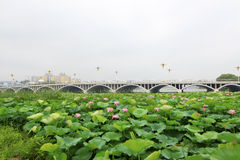 Large lotus and buildings in a park Stock Image