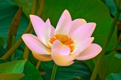 Large lotus flowers. bright pink buds of lotus flower floating in the lake. Stock Image