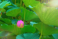 Large lotus flowers. bright pink buds of lotus flower floating in the lake. Royalty Free Stock Photo