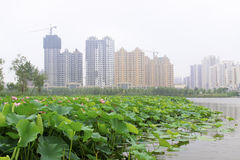 Large lotus and high rise buildings in a park Royalty Free Stock Photography