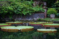 Large Lotus lilies in the pond. Large water lilies Lotus in a pond with flowers in Bali Tirta Gangga, Indonesia Stock Photo