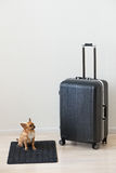 Large luggage and small chihuahua dog on wooden background. Stock Photos