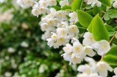 Large lush blooming jasmine bush Stock Photos