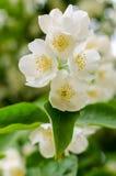 Large lush blooming jasmine bush Royalty Free Stock Photography
